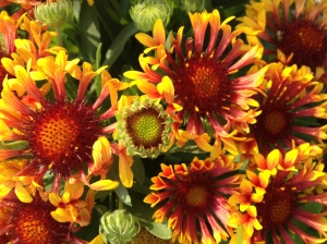 Clump Blanket Flowers
