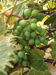 Grapes growing