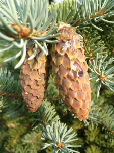 Pinecone w sap